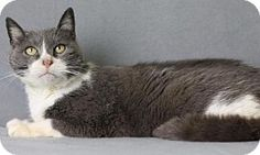 Blackwood, NJ - Domestic Shorthair. Meet Ivy, a cat for adoption. http://www.adoptapet.com/pet/17338040-blackwood-new-jersey-cat