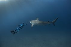 Tiger Sharks - Fred Buyle