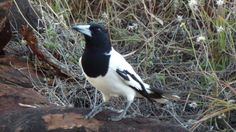 Corymbia gilbertensis.  Pied, Butcherbird, Cobbold Gorge Village. Yellow Submarine, Natural Wonders, Underwater, Wildlife, Bird, Nature, Animals, Animaux, Birds