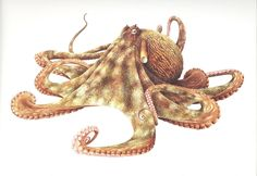 Giant Pacific Octopus Drawing