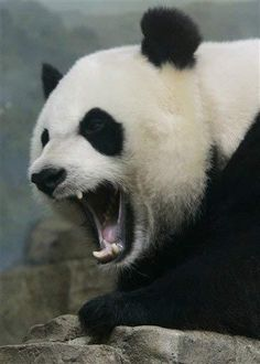 Behold the might panda in all his fury!! Or is that furry?