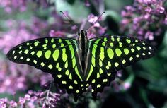 The green-spotted triangle butterfly is one species documented in the Atlas of Living Australia.