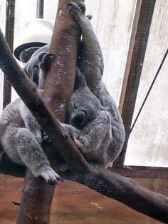 Koala´s  Zoo Planckendael (B)