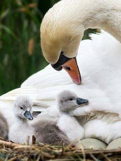 Via Birdcam Italia. Swan mum with chicks. Pretty Birds, Beautiful Birds, Animals Beautiful, Beautiful Swan, Nature Animals, Animals And Pets, Swans, Cygnus Olor, Kinds Of Birds
