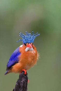 Malaquita Kingfisher (Alcedo cristata) (Photo by Anton