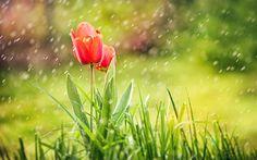 Descargar fondos de pantalla tulipanes rojos, la lluvia, el bokeh (desenfoque, desenfoque, las gotas de agua