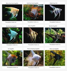 Angelfish Information: Care, Tankmates, Feeding and Breeding | All Aquarium Info - Where to buy Garra Rufa , Doctor Fish and Other Aquatic Articles
