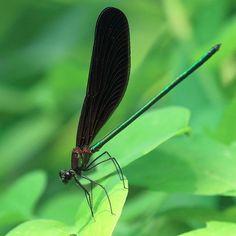 ハグロトンボ♂ 学名:Calopteryx atrata . . 緑色の金属光沢が美しい . #ハグロトンボ #トンボ #昆虫 #茨城 #東京カメラ部  #写真好きな人と繋がりたい  #ファインダー越しの私の世界  #ig_dragonflies #arthropod_perfection  #flowersandmacro  #bns_buginsects  #fabulous_shots  #ip_connect  #kings_insects #insects_of_our_world  #macro_vision  #macroworld_tr  #macro_brilliance  #hdmacros  #macro_captures  #macro_freaks  #macro_champ  #tgif_macro  #tgif_insects  #nature_sultans  #nature_skyshotz  #natureaddictsun  #splendid_kritterz by masaforester