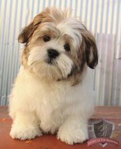 He's a stuff animal! His name is Bingo and he's a Havanese /ShihTzu! Havanese Grooming, Havanese Puppies, Cute Puppies, Cute Dogs, Dogs And Puppies, Doggies, Havanese Haircuts, Maltipoo, Goldendoodle
