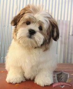He's a stuff animal! His name is Bingo and he's a Havanese /ShihTzu! Havanese Grooming, Havanese Puppies, Cute Puppies, Cute Dogs, Dogs And Puppies, Doggies, Havanese Haircuts, Schnauzer Grooming, Maltipoo