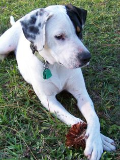 Catahoula Leopard Dog Coonhound Mix Dog For Adoption In
