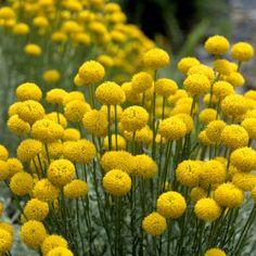 Silbrigblättriges Heiligenkraut Santolina chamaecyparissus (günstig) - braucht Sonne