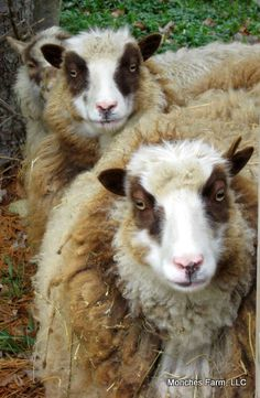 Several petite Shetland Sheep at Monches Farm, Scotland