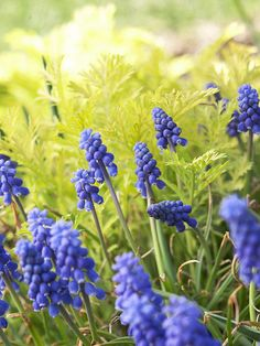 Create a stunning spring-blooming garden with bold Grape Hyacinth. More early-season flowers: http://www.bhg.com/gardening/flowers/perennials/early-blooming-flowers/?socsrc=bhgpin050213grapehyacinth=9