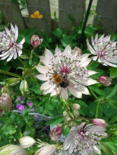 Het zeeuwse knoopje trekt bijtjes aan in de tuin.
