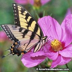 Bring beautiful wildlife into your garden or meadow with our Butterfly & Hummingbird Seed Mix. It contains 16 wildflowers, both annuals and perennials, that will attract winged friends. This mixture is designed to provide stunning color all season long, year after year - It will burst into blooms the first year with the annual wildflowers and provide color in years after with the perennials.