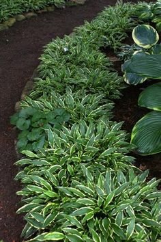 Shrubs Stiletto Hosta - Small Hosta Cultivar Attractive foliage and good growth rate make this hosta a perfect selection for the border of the garden. Stiletto Hosta has long na Outdoor Plants, Plants, Shade Perennials, Perennials, Beautiful Gardens, Ground Cover, Urban Garden, Foliage Plants, Hosta Plants