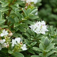 Hebe buxifolia A very pretty and easy to grow small evergreen flowering shrub with masses of white flowers appearing in late winter. Ideal border and hedge plant. Prefers a full sun to part shade position in well drained soil. Drought tolerant and frost hardy once established. Supplied in a 50mm pot. Orders containing this item …
