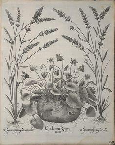Hortus Eystettensis, sive, Diligens et accurata omnium plantarum, florum, stirpium :.  [Nürnberg? :s.n.],1640