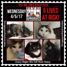 """TO BE DESTROYED 4/05/17 - - Info  Please share View tonight's list here: http://nyccats.urgentpodr.org/tbd-cats-page/. The shelter closes at 8pm. Go to the ACC website( http:/www.nycacc.org/PublicAtRisk.htm) ASAP to adopt a PUBLIC LIST cat (noted with a """"P"""" on their profile) and/or … CLICK HERE FOR ADDITIONAL…Please…Please...-  Click for info & Current Status: http://nyccats.urgentpodr.org/to-be-destroyed-32017/"""