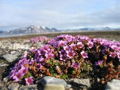 Purple Saxifrage - The Coldest Climate Wildflower