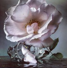 Fashion photographer Nick Knight has a real passion for the English Tea Rose and takes time out of his day to pick the blooms straight from his own garden, recording with a smartphone and uploading straight to Instagram