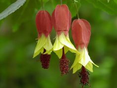 Portal Multiflora: Abutilon megapotamicum