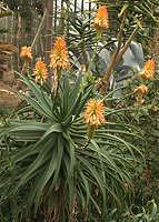 Aloe arborescens  Miller 1768 Syn: A. mutabilis (Krantz Aloe, Kransaalwyn) This medium-sized shrubby, branching Aloe grows to 6 ft, with large, decorative spikes of yellow, orange or red tubular flowers.  Aloe arborescens is widely distributed through the Eastern South Africa, Mozambique, Malawi and Zimbabwe and grows from sea level to the tops of mountains