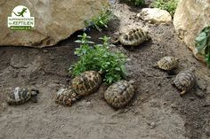 In a second house we keep all kinds of tortoises, which also come in in quite a large number... with a total area of almost 1200 square metres the facility is Germany's largest refuge for turtles and tortoises.