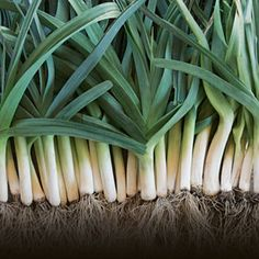 How to grow leeks, the sturdy backbone to many recipes and a tasteful addition to the garden.