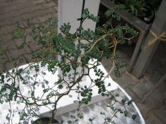 "Sophora japonica ""little baby"" - sofora"