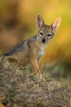 Jackal Pup by David Lloyd......... jackal pup, one of four, in early morning light. A disused termite mound was their home, and when we found them they were playing on top of it, which made it easy to separate them from the background using a long lens.