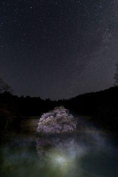 Kagami sakura tree at night, Fukushima, Japan