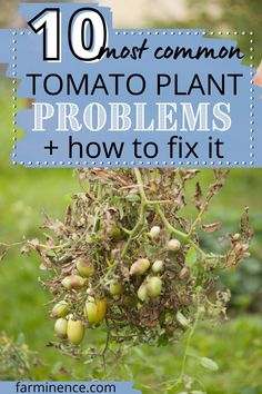 There are many things that can go wrong with your tomato plant. In fact, dozens of illnesses, pests and diseases can hurt your tomato plant. In this article, I break down the 10 most common problems that affect tomato plants. Get the scoop on hornworms, blight, catfacing, cracked tomatoes, yellow tomato leaves and so much more. Figure out what's wrong with your tomato plant so that you can fix it and get it healthy and producing tomatoes again. Vegetable Garden For Beginners, Starting A Vegetable Garden, Gardening For Beginners, Garden Tips, Vegetable Gardening, Organic Gardening, Growing Vegetables From Seeds, Easy Vegetables To Grow, Growing Plants