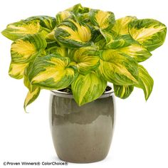 Proven Winners - Shadowland® 'Etched Glass' - Hosta hybrid white plant details, information and resources.
