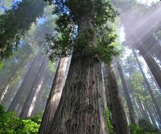 These forests are gorgeous and the inspiration for my cottage in the woods. Redwood National and State Parks – California – USA Places To Travel, Places To Go, Travel Destinations, Wyoming, Enchanted, Amazing Nature Photos, California National Parks, California Usa, Northern California