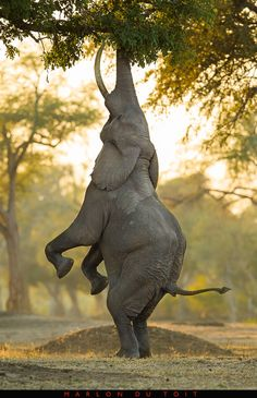 "Balancing act, by Singita guide Marlon du Toit. Photographed at Mana Pools, Zimbabwe. ""The Mana elephants are well known for this kind of behaviour. I have always wanted to capture this moment, and this image portrays the power and agility of these big creatures. It was a dream come true."""
