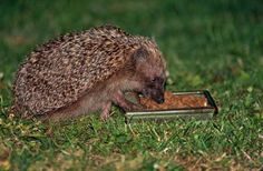 The Hedgehog Snack Bowl is the convenient, hygienic way to offer food for #hedgehogs. Finished in an attractive green/brown glazed finish, the snack bowl is made from hi-fired frost-resistant ceramic and is complete with an integral drainage hole. It is useful not only for hedgehogs but also for other small mammals and as small ground #feeder for wild birds. - See more at: http://www.reallywildbirdfood.co.uk/wildlife-world/wildlife-world/hedgehog-snack-bowl-14-34-P575/