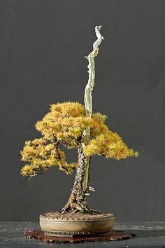 Resultado de imagen para larch in autumn bonsai