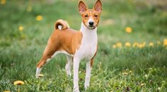 Best Hypoallergenic Dog Breeds: 20 Different Breeds That Don't Shed Perros Basenji, Basenji Dogs, Best Dog Breeds, Small Dog Breeds, Best Dogs, Large Dogs, Small Dogs, Hairless Dog, Coton De Tulear