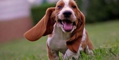 I don't think this Basset Hound puppy can get any cuter! Related: Sleepy morning for Basset hound puppy Basset hound puppies howling Puppy afraid of ketchup bottle Basset Puppies, Hound Puppies, Dogs And Puppies, Doggies, Beagles, Best Dog Breeds, Best Dogs, Chien Basset Hound, Bassett Hound