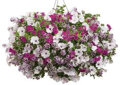Icing on the Cake | Proven Winners-1 of each Supertunia Mini Silver Petunia, Blushing Princess alyssum, and Intensia Cabernet phlox