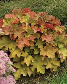 Heuchera Caramel. Have one of these planned for the shade bed. Harmonizes with Autumn Fern.