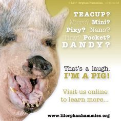 Anyone can open a certificate template and print a guarantee. Adult miniature pigs achieve a healthy adult weight range of 90 to 250 pounds. This IS miniature. Their farm-bred cousins routinely exceed 1000 pounds if allowed to reach full maturity. Tiny Pigs, Pet Pigs, Pig Information, Pocket Pig, Pig Facts, Miniature Pigs, Pot Belly Pigs, Teacup Pigs, Animal Science