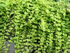 "Creeping Jenny will keep its bright chartreuse color for several frosts. It makes a terrific ""spiller"" plant in containers, dripping down the sides and accenting richly hued flowers and foliage, including asters and Red Star spike."