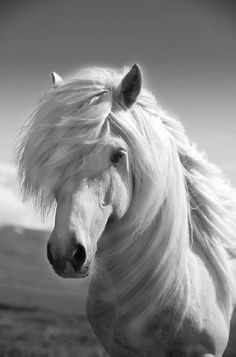 Very likely a white Icelandic horse