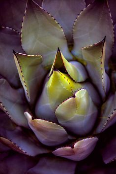 A succulent looking extra succulent this morning by alan shapiro photography, via Flickr