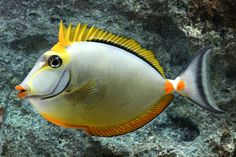 picture of Blonde Naso Tang Indonesia Lrg                                                                       Naso elegans