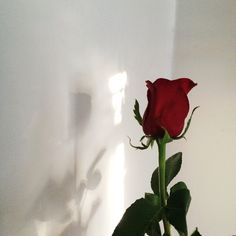 "«Open/w Rosie»The only rose that didn't wilt,I felt happy that it didn't.But also very mad,I was mad at myself for not taking care of them right.I out that rose in a small vase and in the sun.I gave it a little bit of water.As I was watering it I hear footsteps coming into my dorm.""It's quite rude not to knock."" I say without breaking contact with the Rose and the water."