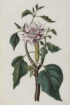Hindu Datura. Datura metel. Moninckx, J., Moninckx atlas, vol. 1 (1682)